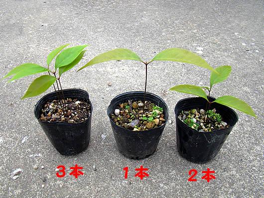 Acornsprout8